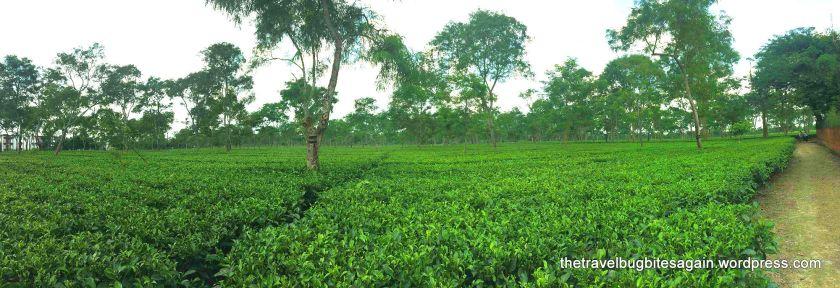 The unending tea gardens